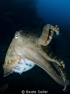 Cuttlefish at the Alam Batu Housereef by Beate Seiler 